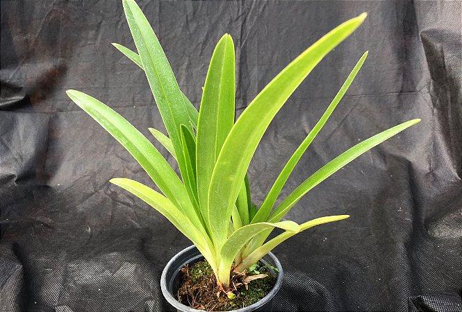Phragmipedium manzuri
