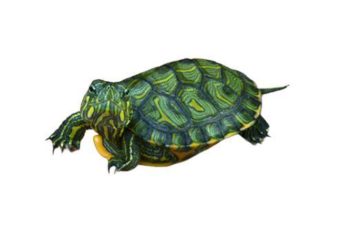 Tartaruga Tigre D´àgua ( Trachemys dorbigni )