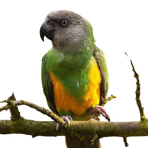Papagaio Do Senegal (Poicephalus senegalus)