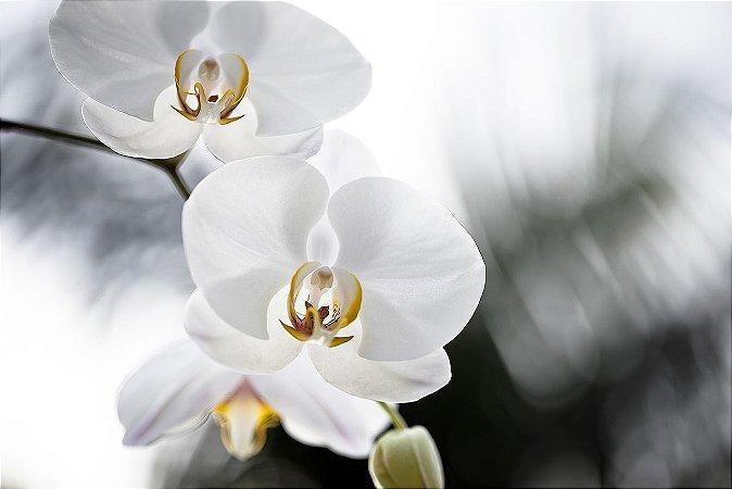 Orquídea I