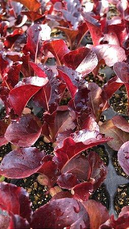 Brotos de Alface roxa