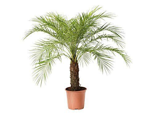 Palmeira Fenix - 1,5 mt