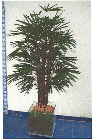 Palmeira Raphis + Vaso + Insumos + Montagem