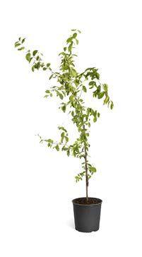 Acerola - 1,5 mt