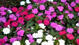 Impatiens / Sampaties - Pote II