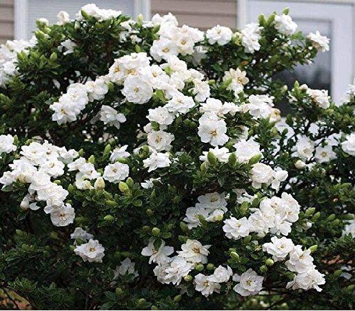 Gardenia - 0,80 cm