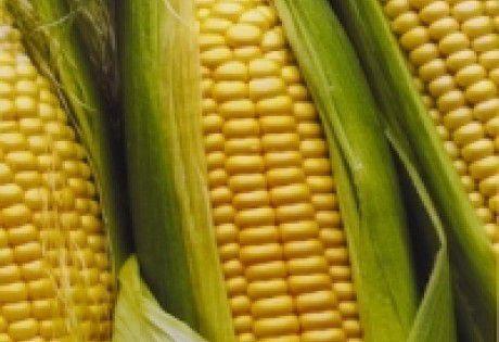 400 Sementes de Milho (Cativerde 02)