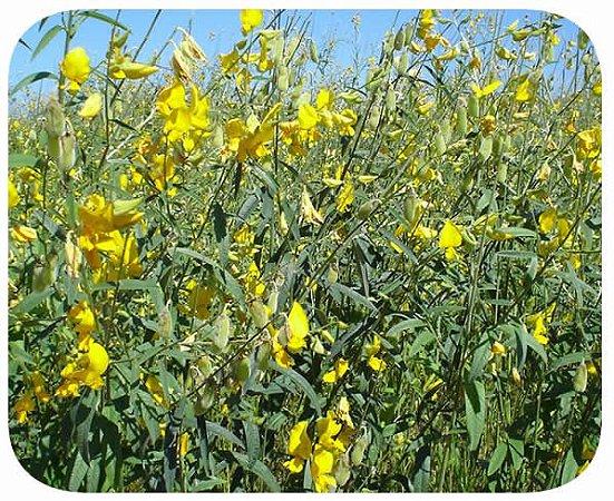 Crotalária Juncea (100 sementes)