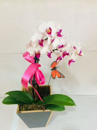 Mini Orquídea Borboleta