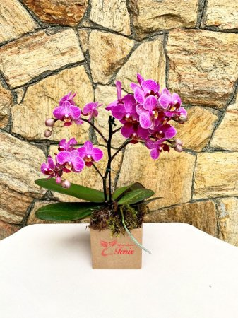 Mini Orquidea Phalaenopsis Pink