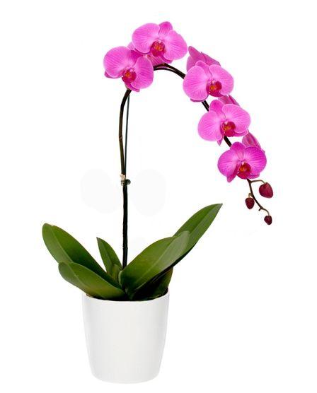 Phalaenopsis Roxa