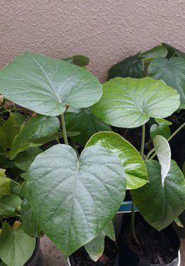 Argyreia nervosa Hawaii - 1 muda de 30cm aprox.