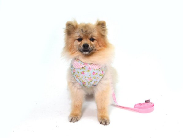 Peitoral para Cachorro Princess