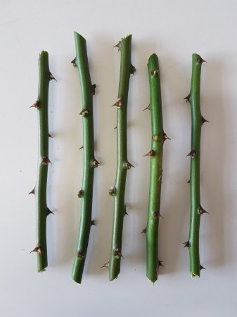 Ora Pro Nobis 5 Estacas - Muda Panc Vegano - Óra Pro Nóbis