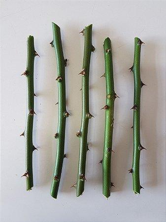 Kit 120 Estacas de Ora Pro Nobis Muda Planta Panc Vegano Vegetariano