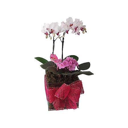 Mini Orquídea SemiAlba e Violeta no Vaso