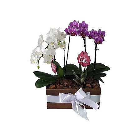 Dupla de Mini Orquídeas Presente