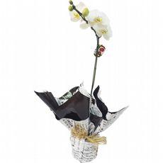 Phalaenópsis Branca Presente