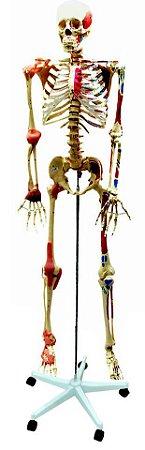 Esqueleto Aprox. 168 cm Articulado e Muscular