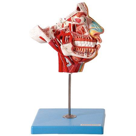 Crânio Facial com Demonstrativo de Nervos, em 2 partes