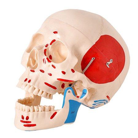 Modelo Anatomico Crânio Numerado, com Origens e Inserções Musculares, em 2 partes