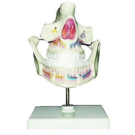 Modelo Anatômico Dentição Adulta