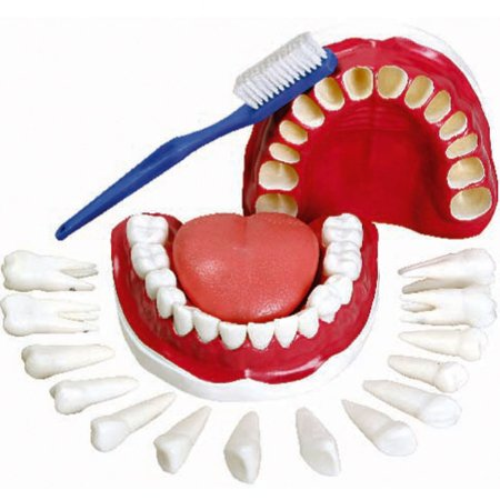 Modelo Anatômico Dentição com Todos Os Dentes Removíveis