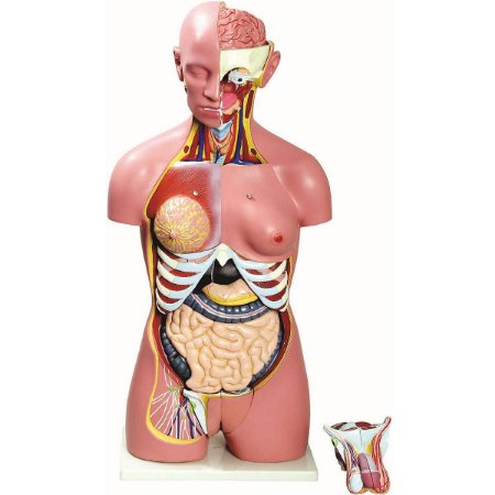 Modelo Anatômico Torso Bissexual 85cm com 24 Partes Luxo