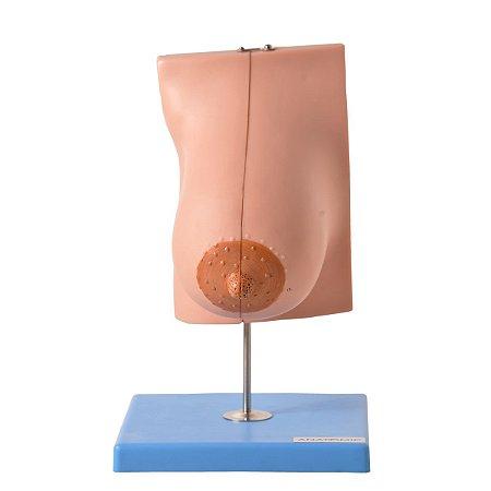 modelo anatomico Glândula Mamaria em Lactação