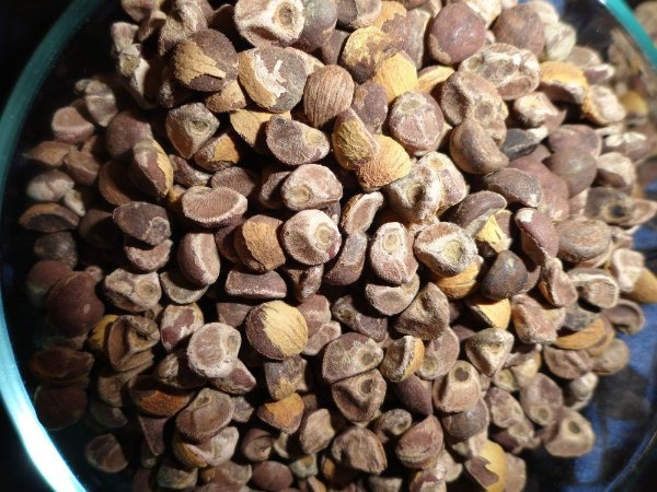 Argyreia Nervosa - 80 sementes