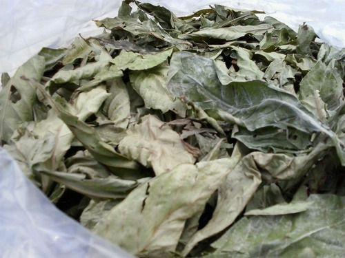 Chacrona - Psychotria Viridis - 200 gramas