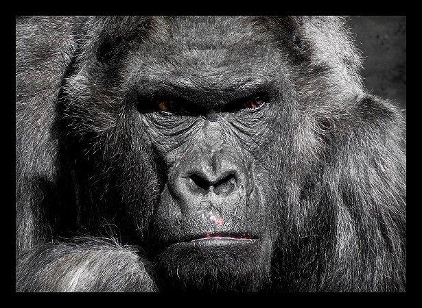 Quadro Decorativo Animais Gorila