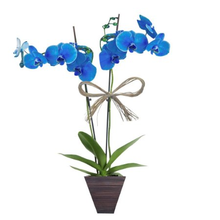 Orquídea Azul com 02 Hástes no Vaso de Madeira