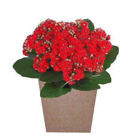 Calandivas Vermelhas Plantadas No Cachepot para Presente