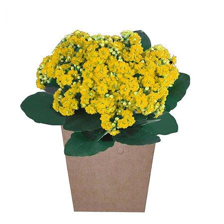 Calandivas Amarelas Plantadas no Cachepot Para Presente.