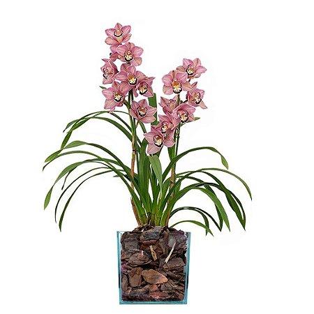 Orquídea Cybidium Rosa no Vaso de Vidro