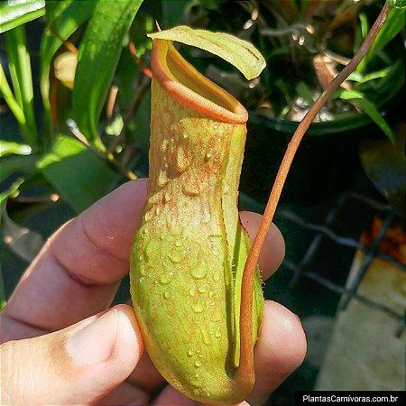 Planta Carnívora Nepenthes Ventricosa x Khasiana