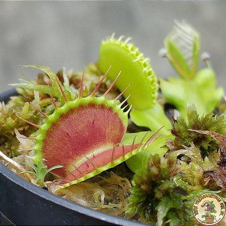 Planta Carnívora Dionaea muscipula B52
