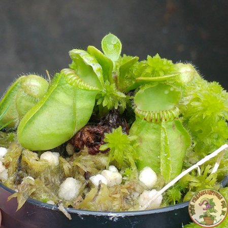 Planta Carnívora Cephalotus Follicularis