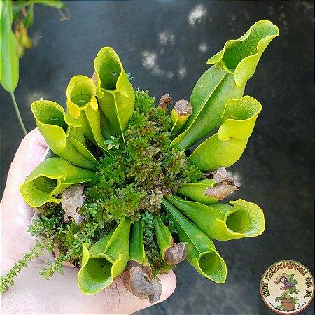 Planta Carnívora Sarracenia Purpurea Heterophylla