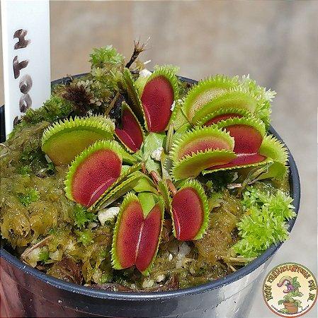 Dionaea muscipula Sawtooth