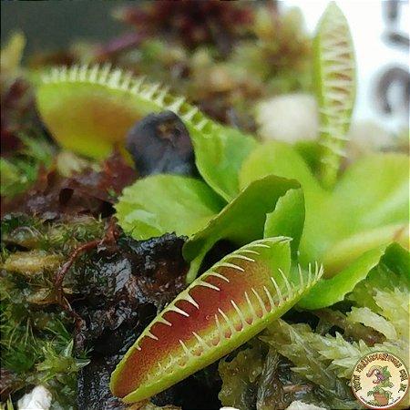 Planta Carnívora Dionaea Muscipula Alien