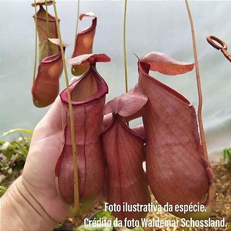 Planta Carnívora Nepenthes (Viking x Hookeriana) x Ventricosa