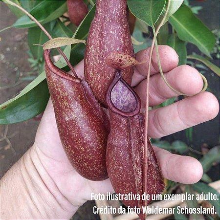 Planta Carnívora Nepenthes (Viking x Hookeriana) x Graciliflora Variação 1