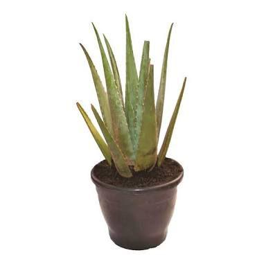 Babosa ou Aloe Vera - Pote de 40 cm