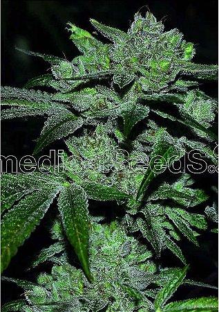 Sour Glue Fotoperíodo Medical Seed's Feminizada