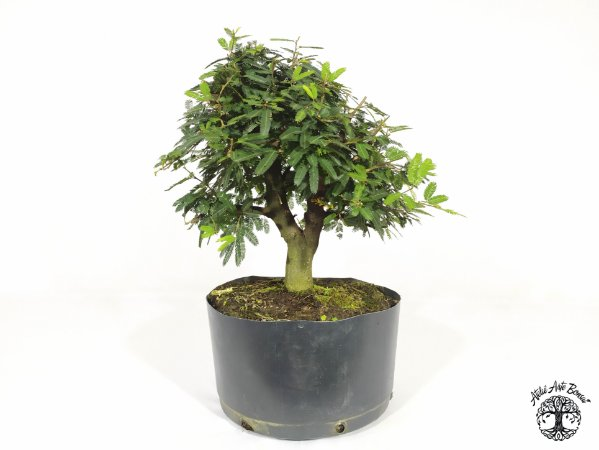 Pré Bonsai Calliandra Rosa  ( 26 cm altura)