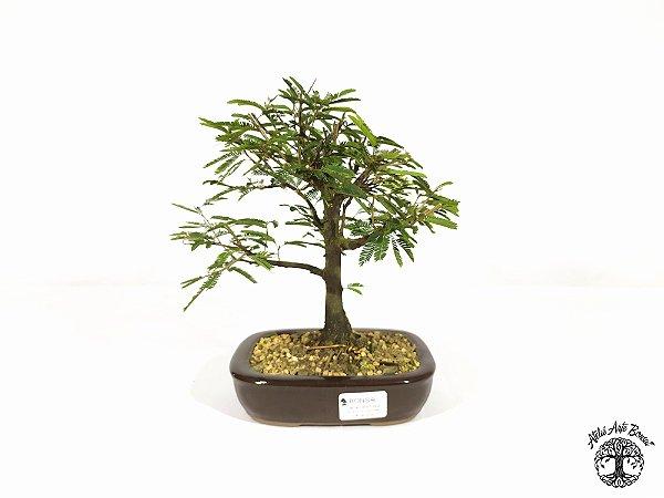 Bonsai Calliandra Rosa  ( 19 cm altura)
