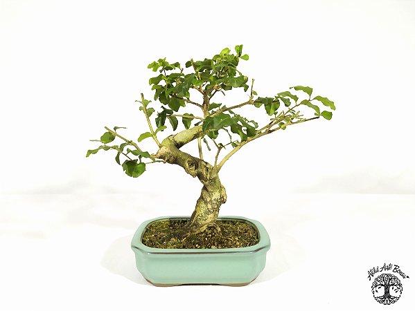 Bonsai Ligustro Sinense  (21cm altura)