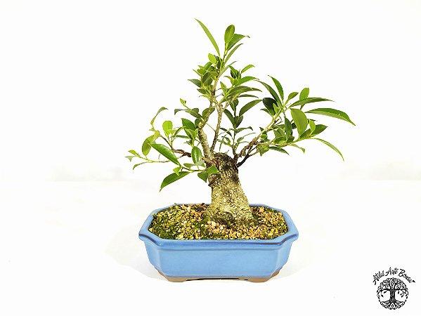 Bonsai Fícus Microcarpa (19 cm altura) 7 anos